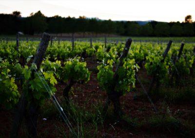 Vineyard Alsace - Riquewihr- Alsace