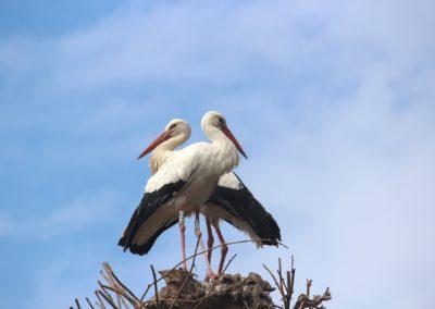 Stork - Alsace