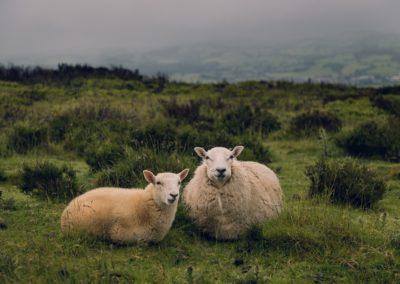 Sheep farm in Ireland