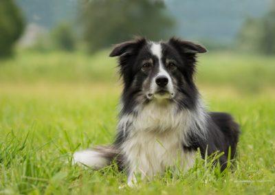 Sheepdog, border collie