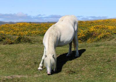 British poney- Cotswold Farm park