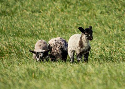 Lamb on a field
